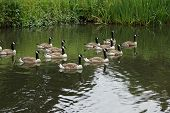 stock photo of canada goose  - Flock of Canada Goose - Branta canadensis ** Note: Visible grain at 100%, best at smaller sizes - JPG