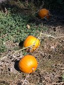 Pumpkins On The Vine