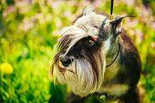 stock photo of schnauzer  - Small Miniature Schnauzer Dog  - JPG