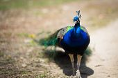 stock photo of female peacock  - Beautiful male peacock lying on green lawn atracting female - JPG