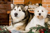pic of malamute  - Malamute and west haigland white terrier with christmas-tree decorations.