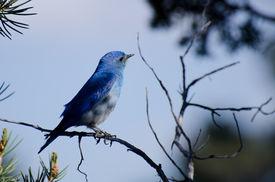 stock photo of bluebird  - A Male Mountain Bluebird Perched in a Tree - JPG
