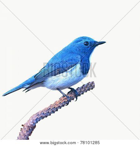 Ultramarine Flycatcher Bird