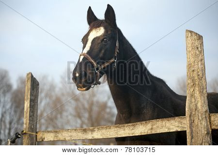 Thoroughbred Saddle Horse Looking Over The Corral Fence