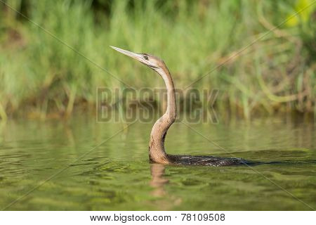 African Darter (anhinga Rufa) Swimming In A Stream