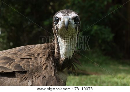 Hooded Vulture (necrosyrtes Manachus) Looking Right Into The Lens