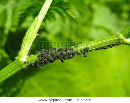 Pflanze-Laus