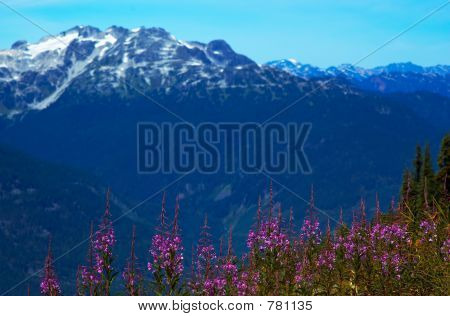 Purple flowers & mountain