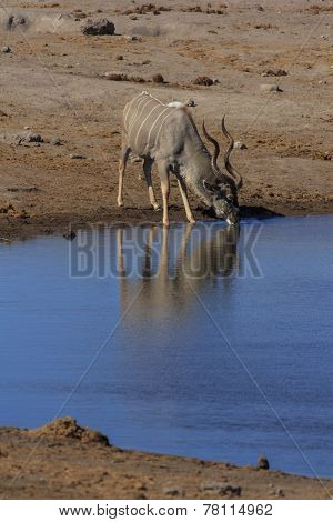 Kudu drinking from a waterhole