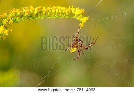 Spider On A Spider Web