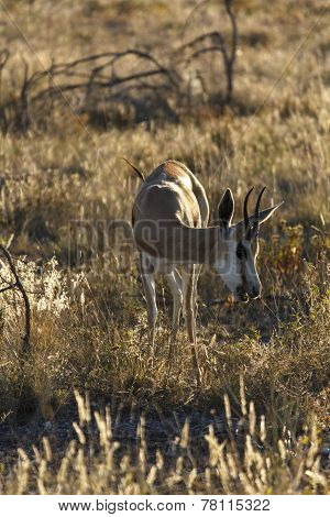 young Springbok eating grass