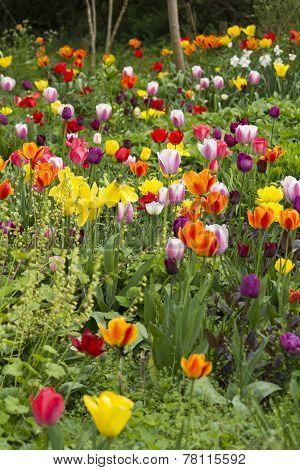Tulips in communal garden