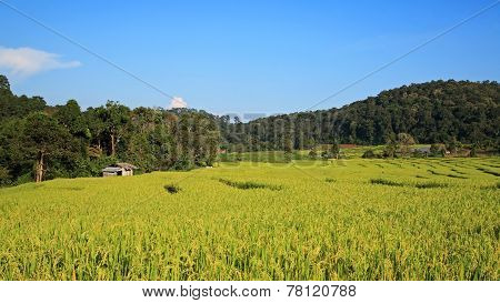 Green Terrace Rice Fields In Chaing Mai,