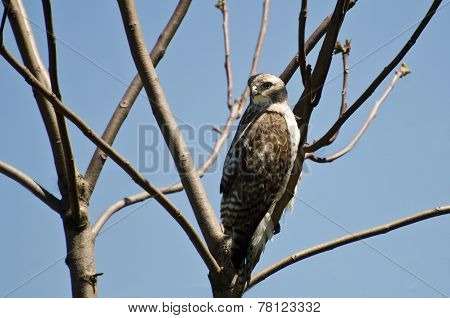 Young Red-tailed Hawk Perched In A Tree