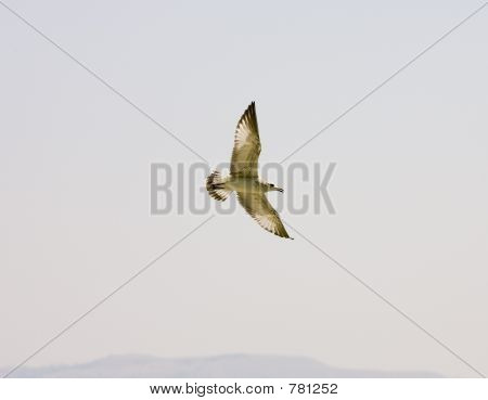 Seagull soaring through the sky