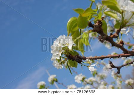 Apple Flowers Against The Sky