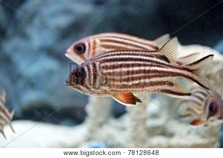 Redcoat Squirrelfish.