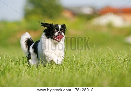 Black And White Pekingese On Meadow