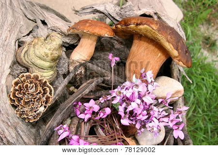 Boletus Wild Mushrooms In Forest