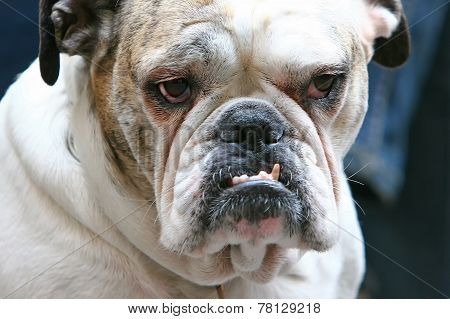 Close Up Of Bulldog