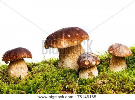 Four mushrooms Boletus edulis - porcino - growing in the moss isolated on white background