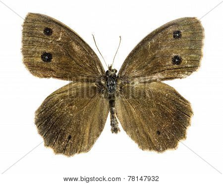 Dryad Butterfly