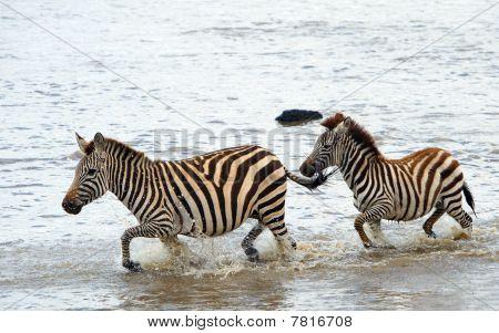 Two Zebras (african Equids)