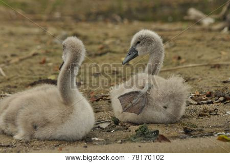 Chicks Mute Swan Resting On The Beach. Lake Mazury, Poland.