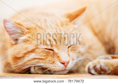 Peaceful Orange Red Tabby Cat Male Kitten Sleeping In His Bed On Laminate Floor