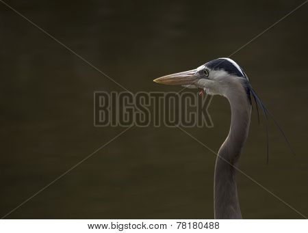 Great Blue Heron in San Francisco, California