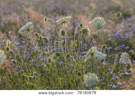 Field Flowers at Dawn