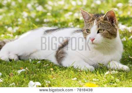 Cat Lying In The Gras