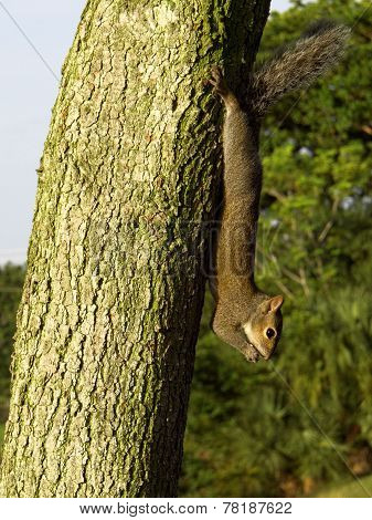Squirrel Hanging Upside Down from Tree
