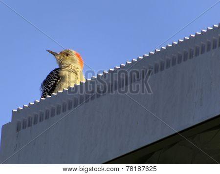 Ruffled Red-Bellied Woodpecker
