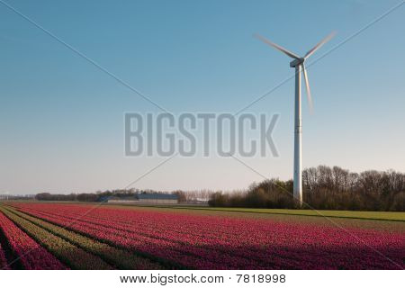Windmill And Dutch Tulips
