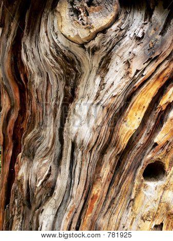 old pine bole