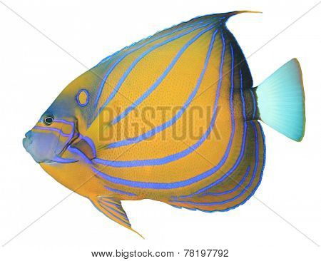 Tropical Fish isolated on white background: Bluering Angelfish