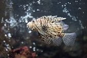 image of lion-fish  - Focus the Lionfish and dangerous fish in the sea.