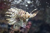 stock photo of lion-fish  - Focus the Lionfish and dangerous fish in the sea.