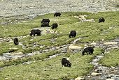 foto of yaks  - Yaks At Pasture Near River in India - JPG