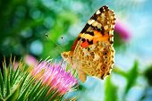 stock photo of butterfly flowers  - Butterfly collects pollen - JPG
