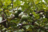 foto of tangerine-tree  - green oranges growing in a orange tree - JPG