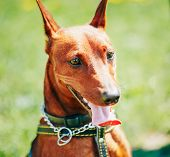 stock photo of miniature pinscher  - Close Up Red Dog Miniature Pinscher  - JPG