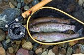 picture of trout fishing  - Top view of wild trout inside of landing net with fishing fly reel pole and assorted flies on wet river bed stones - JPG