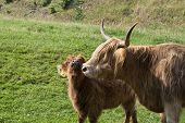 image of calf cow  - Highland cattle - JPG