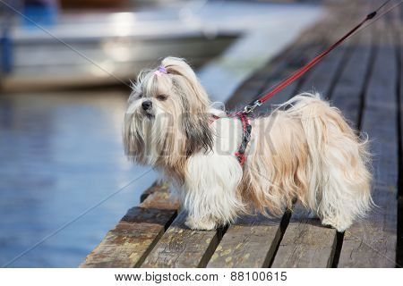 Shih-tzu dog standing on wooden bridge and looking on water.