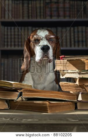Very Smart Beagle