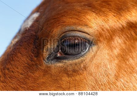 Closeup Profile of  Eye Horse
