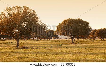 Oak Holm, Ilex In A Mediterranean Forest. Cabaneros Park, Spain