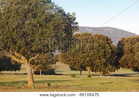 Oak Holms, Ilex In A Mediterranean Forest. Cabaneros Park, Spain